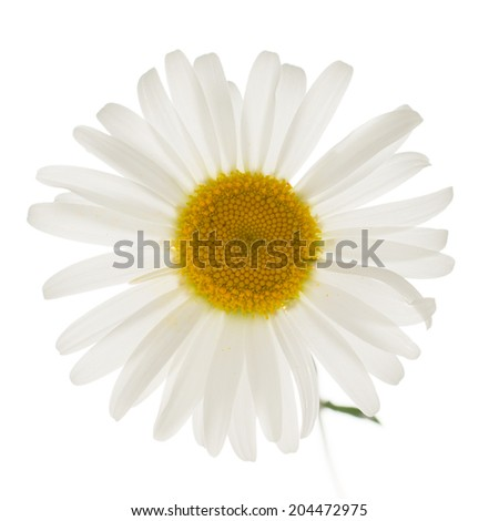 daisy isolated on white