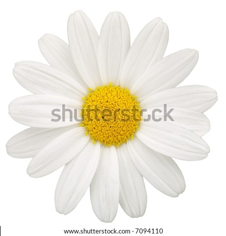 Daisy - isolated on white