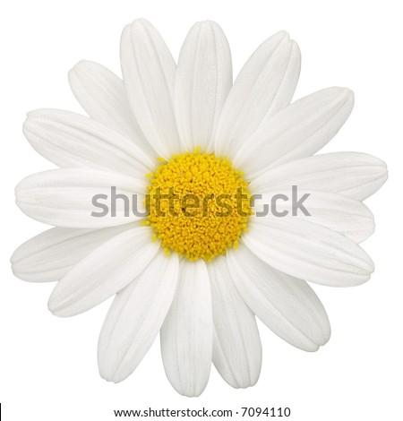 Daisy - isolated on white - stock photo