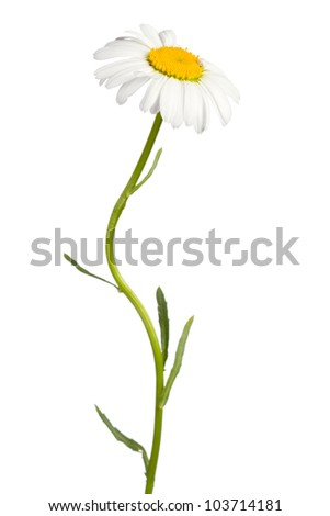 Daisy isolated on white background - stock photo