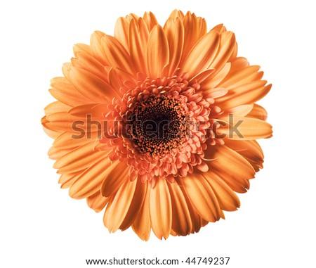Daisy isolated on white background - stock photo