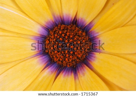 Daisy macro - stock photo