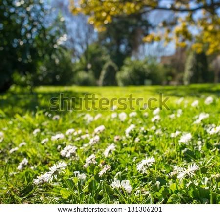 Daisy meadow in park on sunny day - stock photo