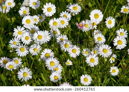 Daisy Meadow - spring fever Pure - stock photo