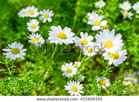 daisy medical, chamomile tea, herbs useful - stock photo