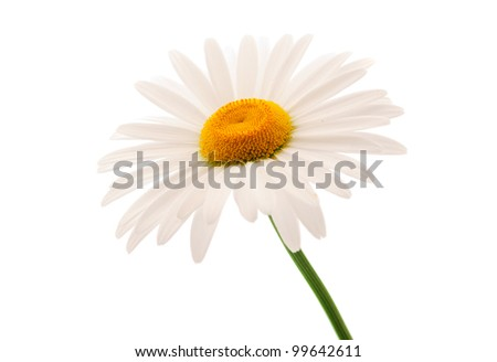 daisy on a white background - stock photo