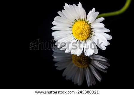 daisy on black glass reflection - stock photo