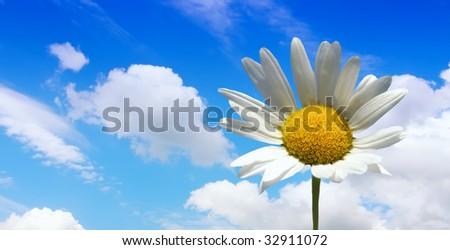 Daisy on blue - stock photo