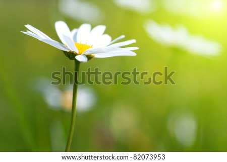 Daisy on the field with green grass - stock photo