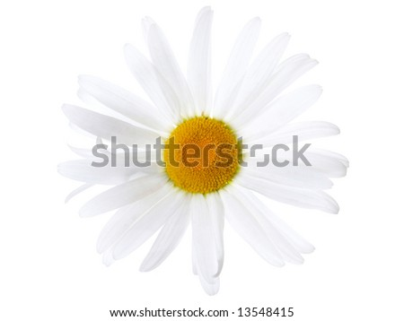 Daisy on white background