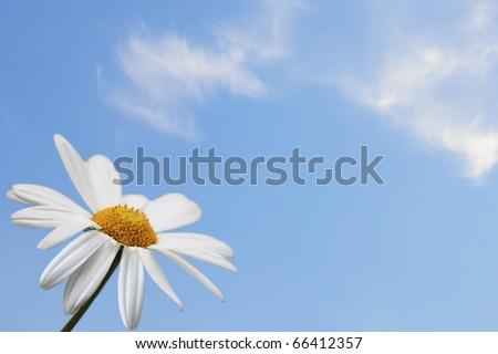 Daisy single flower on blue sky background - stock photo