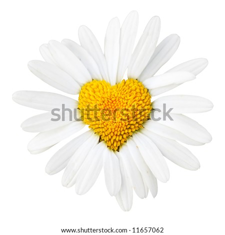 Daisy with heart in center isolated over white background - stock photo