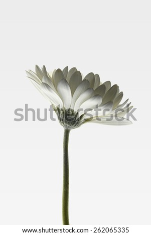 Daisy with white petals and green stem on white gradient background. - stock photo
