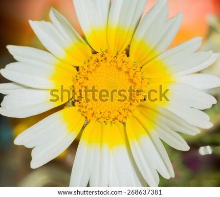 Daisy with yellow center. macro - stock photo