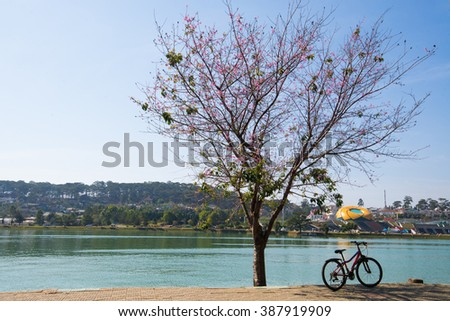 DALAT, VIETNAM - MARCH 4, 2016: Lanscape with blossom cherry tree by Xuan Huong Lake. This artificial lake in the city centre is a favourite place for tourists and locals for walking.