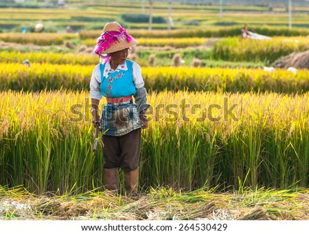 DALI, CHINA - MAY 22: Unidentified Chinese farmer works hard on rice field on May 22, 2010 in Dali, China. For many farmers rice is the main source of income (around $800 annual). - stock photo