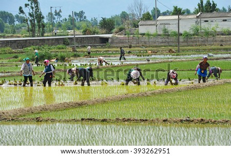 DALI, CHINA - MAY 10: Unidentified Chinese farmers work on the rice field on May 10, 2014 in Dali, China. For many farmers rice is the main source of income (around $800 annual).