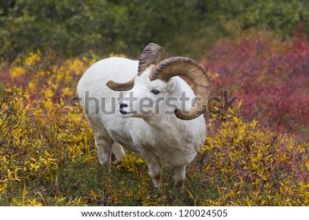 Dall in Denali - Dall sheep in the tundra colors. Savage River, Denali National Park, Alaska - stock photo