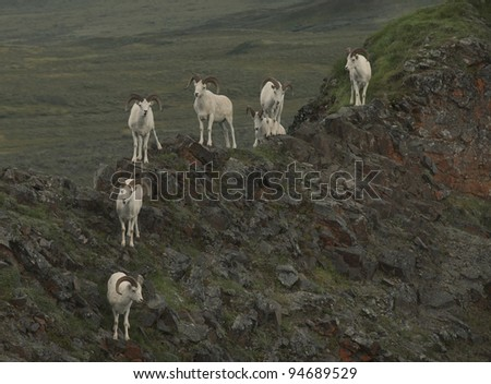 Dall Sheep (Orvis dalli) take refuge on Marmot Rock high above the East Fork River and valley, Denali National Park, ALaska. - stock photo