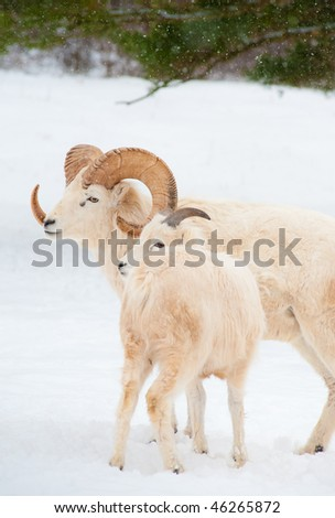 Dall sheep (Ovis dalli) in winter. Parent and newborn lamb on snow covered park setting. - stock photo