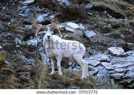 Dalls sheep - stock photo