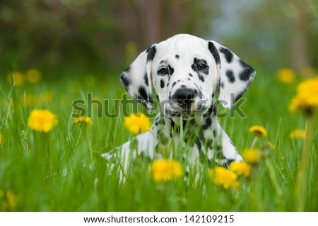 Dalmatian dog - stock photo