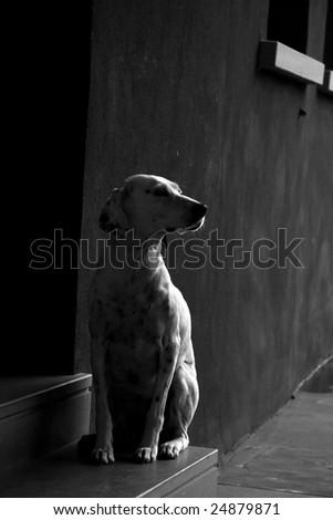 Dalmatian dog - black and white - stock photo