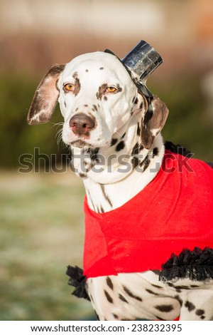 Dalmatian dog dressed in a dress and hat - stock photo