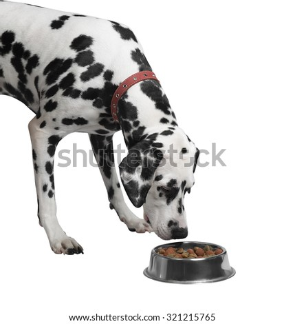 Dalmatian dog eating and sniffing food from a bowl close-up isolated  - stock photo