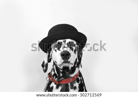 Dalmatian dog in a black hat sits and stares into the camera - stock photo