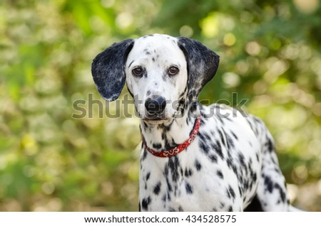 Dalmatian dog is a curious Dalmatian in nature looking at you with his big beautiful eyes. - stock photo