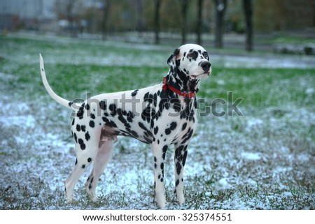 Dalmatian dog is black and white is standing on the street on the grass covered with the first snow fall and looks into the distance - stock photo