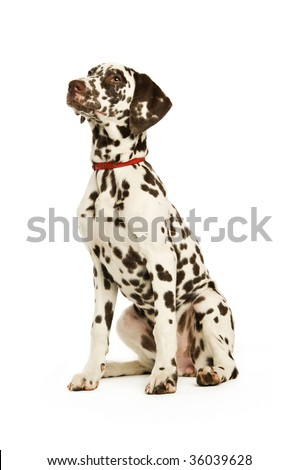 Dalmatian dog isolated on a white background
