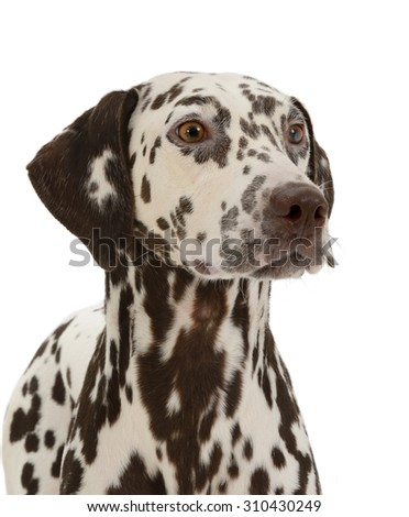 Dalmatian dog, isolated on white background  - stock photo