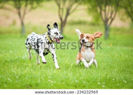 Dalmatian dog playing with beagle - stock photo