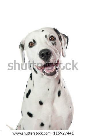 Dalmatian dog portrait on white background - stock photo