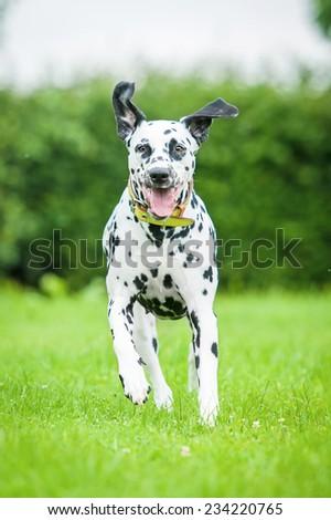Dalmatian dog running - stock photo