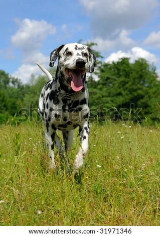 Dalmatian dog running on the lawn - stock photo