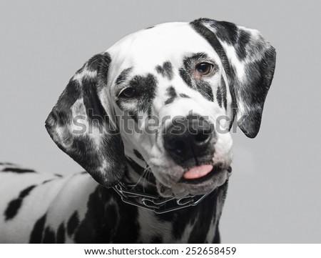 Dalmatian dog shows tongue close-up - stock photo