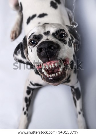 Dalmatian dog tied to a chain throws himself grinning at the camera close-up - stock photo