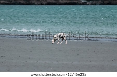 Dalmatian dog walking  along the ocean beach - stock photo