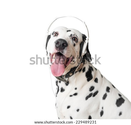 Dalmatian dog with open mouth, headphones and leather collar with metal rivets. Dog looking into camera. Dog tongue and fangs visible. Headphones same black and white, like dog. - stock photo