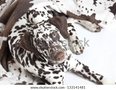 dalmatian dog with spotted blanket, dalmatian dog