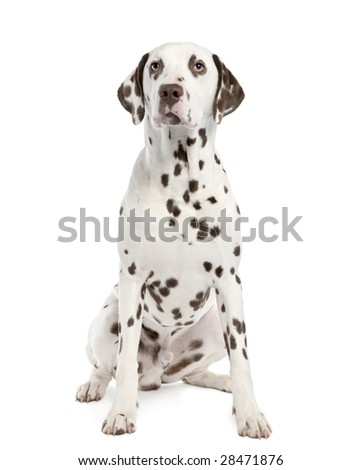 Dalmatian () in front of a white background - stock photo