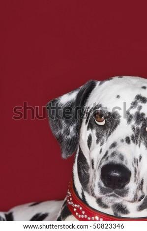 Dalmatian, looking up, close-up - stock photo