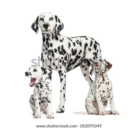 Dalmatian mom and puppies, isolated on white - stock photo