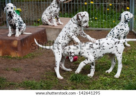 Dalmatian puppies at the breeder - stock photo