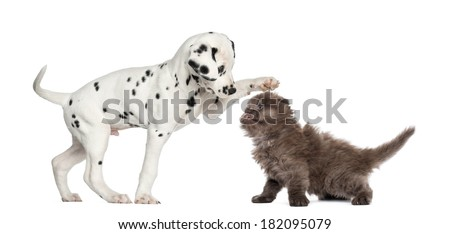 Dalmatian puppy and Highland fold kitten playing together, isolated on white - stock photo