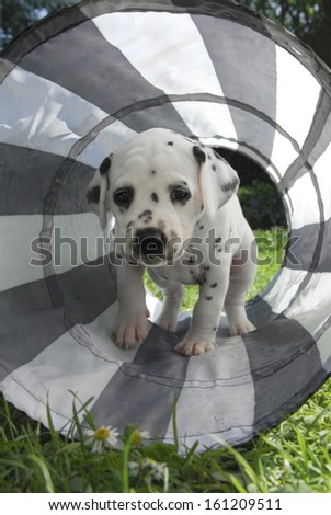 Dalmatian puppy, four weeks old, in a dog tunnel - stock photo