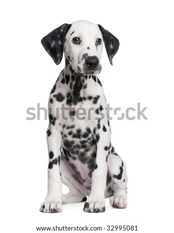 Dalmatian puppy in front of a white background - stock photo